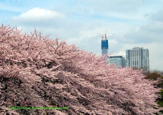 Sakura2010honmurabasi_2