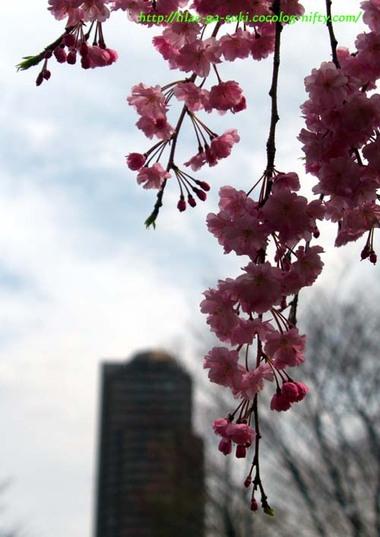 Sakura2010sarue