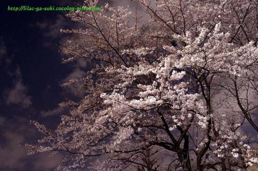 Sakura2010yozakura_2
