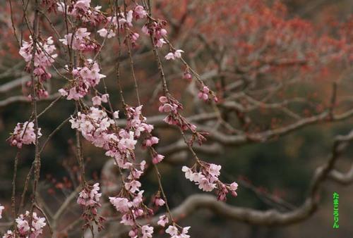 Sidarezakurayoko